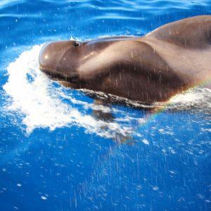 Globicéphale (whale pilot) au sud de Tenerife