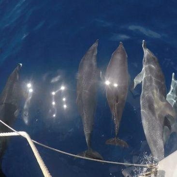 Dauphins Tachetés de l'Atlantique